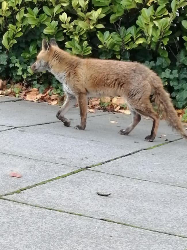 Injured fox - Picture: Tracey Rea