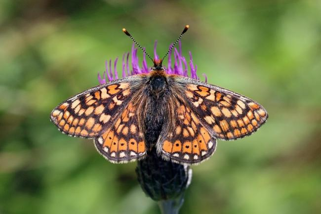 Marsh fritilary butterfly