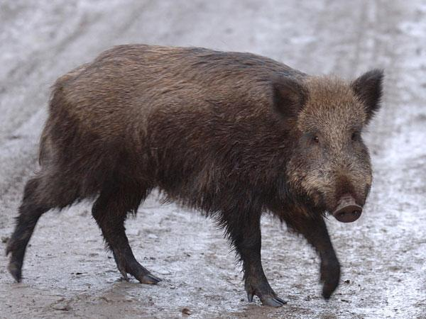 This Is Wiltshire: A wild boar similar to the one found dead near the Allington Farm Shop