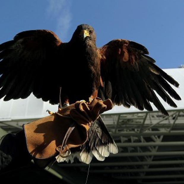 This Is Wiltshire: Rufus, the Harris Hawk which patrols Wimbledon to deter pigeons