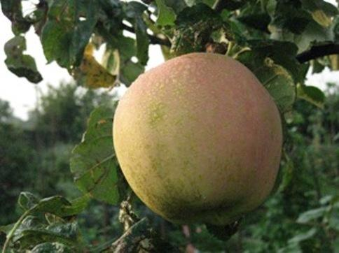 This Is Wiltshire: Trowbridge's apple festival is on October 13