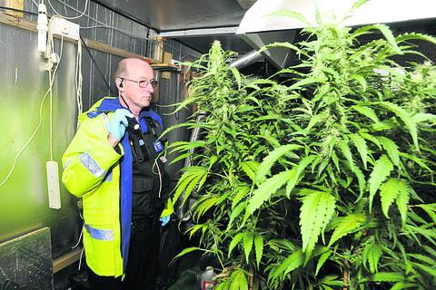 PCSO Andrew Maclachlan inspects the cannabis plants