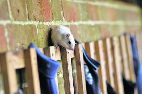 This Is Wiltshire: An albino chipmunk eyes up a row of socks at Longleat