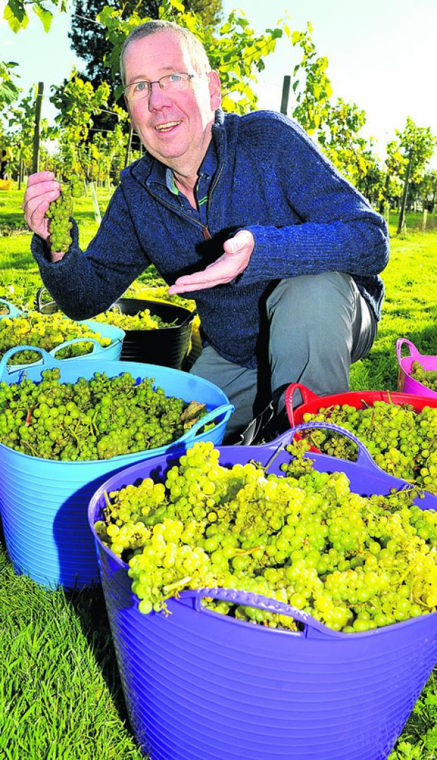 This Is Wiltshire: Francis Young picking grapes at the vineyard at the Pear Tree in Purton