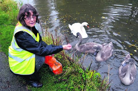 This Is Wiltshire: Sue Hulbert with the swans