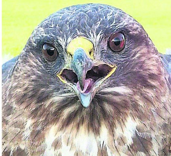 The buzzard which was rescued after it got tangled in a tree at Ogbourne Downs Golf Club