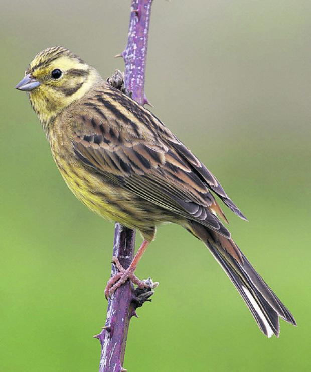 This Is Wiltshire: Yellowhammers are likely to be seen during an early morning walk to celebrate the dawn chorus on Saturday