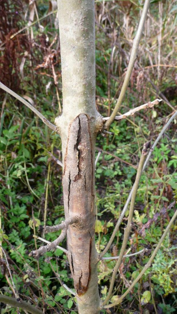 Boost in battle against ash fungus