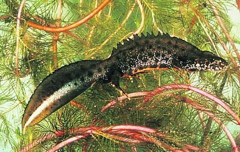 This Is Wiltshire: Great Crested Newt