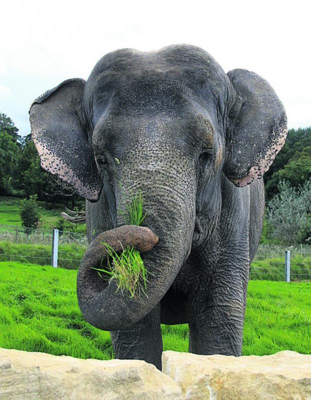 This Is Wiltshire: Anne the elephant in her paddock at Longleat