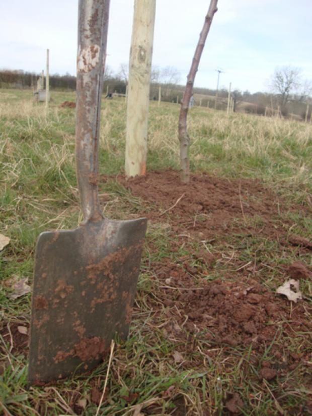 This Is Wiltshire: Spades at ready for tree planting