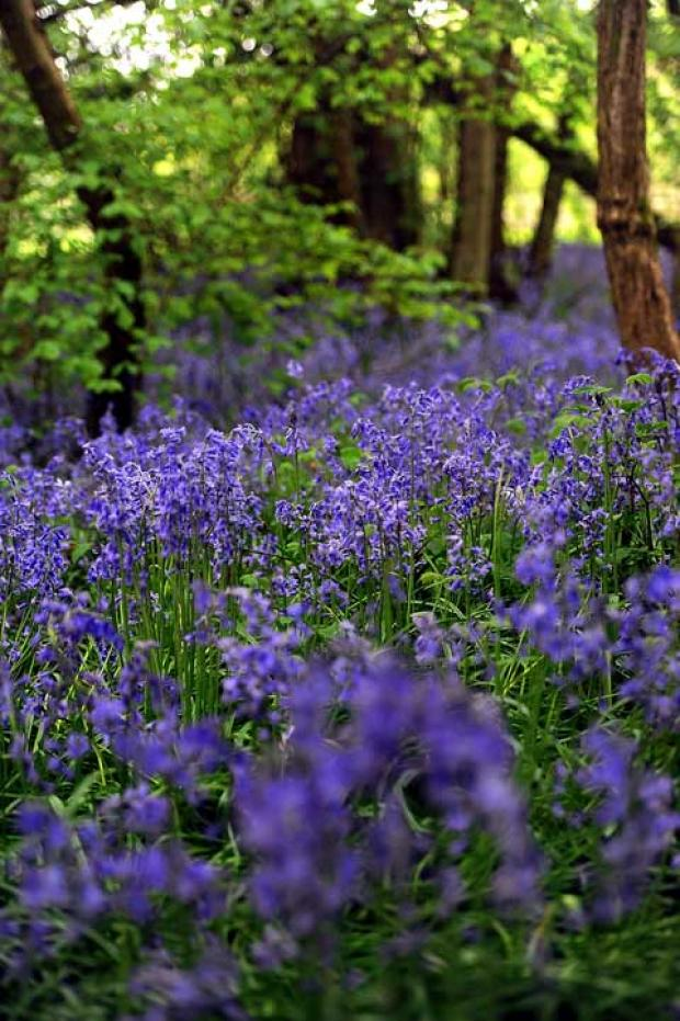 This Is Wiltshire: Bluebells are in bloom early this year