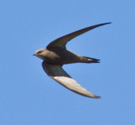 This Is Wiltshire: Bradford on Avon group formed to save swifts