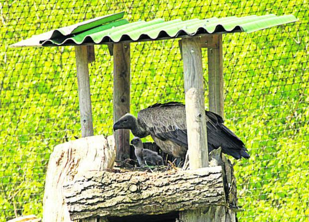 This Is Wiltshire: A parent with the vulture chick
