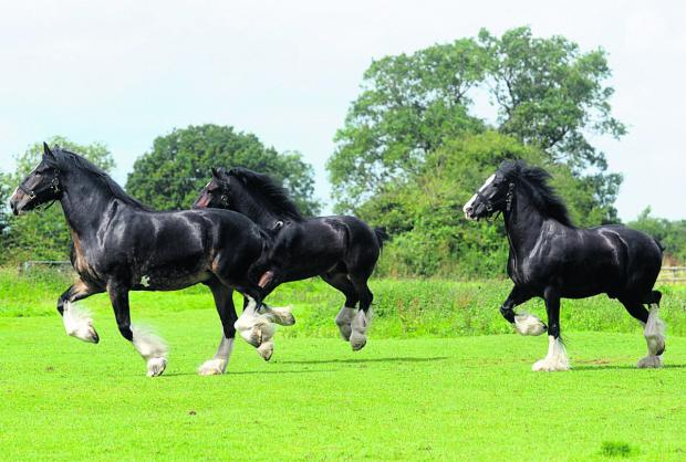 This Is Wiltshire: Wadworth shire horses to star at Lacock fun day
