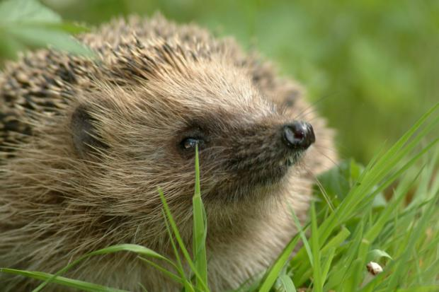 This Is Wiltshire: Hedgehog numbers are down by over a third in the last ten years