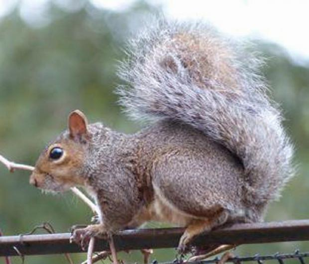 This Is Wiltshire: Grey squirrels came out on top overall of other wildlife in the RSPB's Big Garden Birdwatch, with two thirds of people seeing them in south west gardens at least once a month