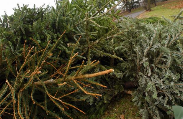 This Is Wiltshire: Friends of Christian Malford Primary School will be collecting and recycling Christmas trees in Christian Malford and Foxham on Saturday, January 11, from 10am
