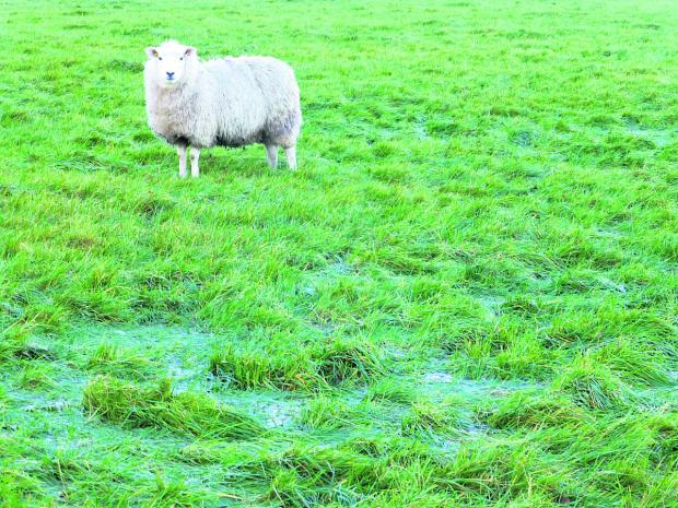 This Is Wiltshire: A sheep looks across a very wet field at Manor Farm