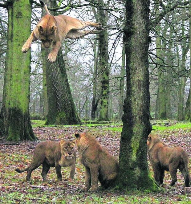 This Is Wiltshire: Keeper Ian Turner was amazed to see and photograph lions leaping from a tree Longleat Safari & Adventure Park