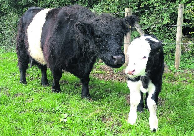 This Is Wiltshire: Nettle, pictured at one day old, with her mum Harriet, will graze Stonebridge Meadow, Marlborough, in the spring