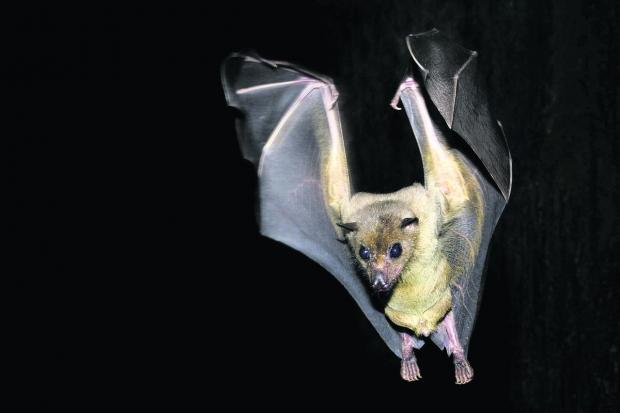 This Is Wiltshire: Egyptian Fruit Bat