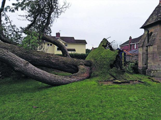 This Is Wiltshire: The fallen Lebanon Cedar