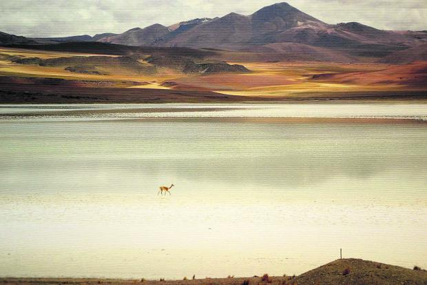 This Is Wiltshire: Jonathan Bates' winning  picture of a vicuna crossing the Atacama desert
