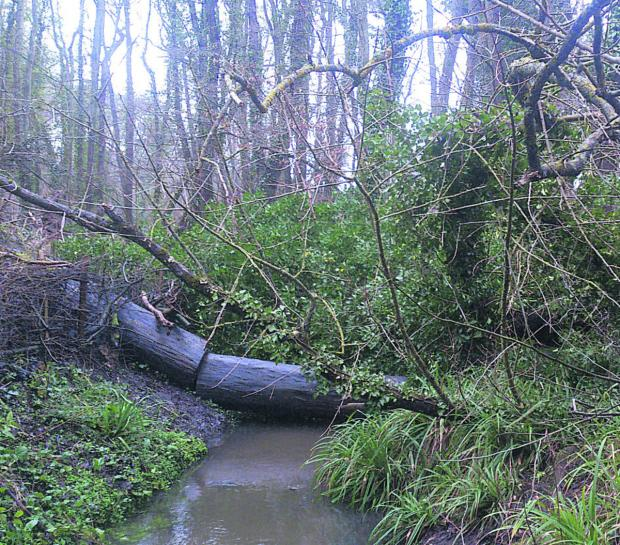 This Is Wiltshire: Trees which fell in Drews Pond Wood, Devizes, during the recent storm still have not been removed