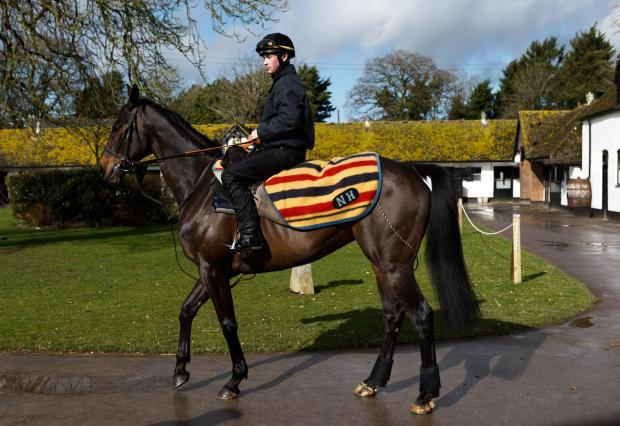 This Is Wiltshire: Sprinter Sacre makes an appearance at Nicky Henderson's pre-Cheltenham press day at the Seven Barrows yard in Lambourn today