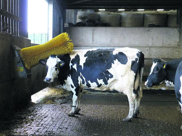 This Is Wiltshire: One of the cows comes for a brush