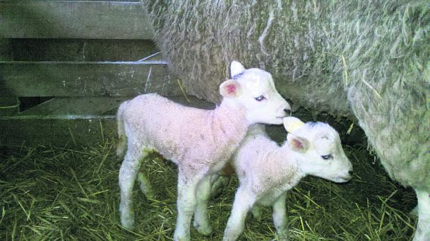 This Is Wiltshire: The first set of twin lambs born