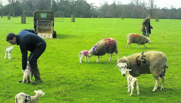This Is Wiltshire: Painted-on number codes keep ewes with their new lambs