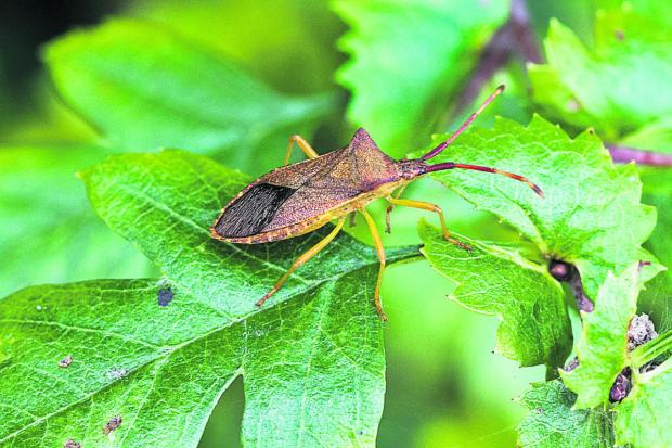 This Is Wiltshire: Gill Cardy's photograph of the Box Bug