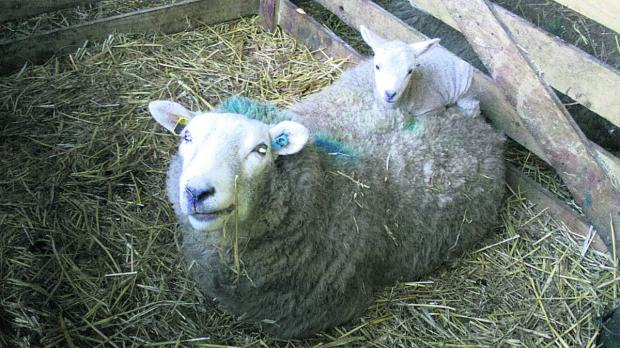 This Is Wiltshire: One lamb finds a cosy bed on its mother's back