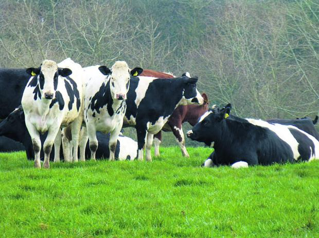 This Is Wiltshire: The heifers relax in their grassy surroundings