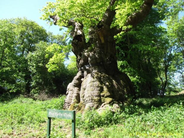This Is Wiltshire: The Big Belly Oak at Savernake Forest