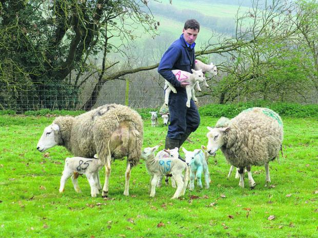 This Is Wiltshire: Matt helps to unite lambs with their mothers