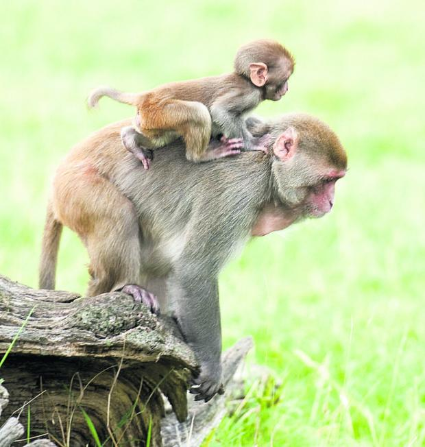 This Is Wiltshire: Onboard at Longleat, but how steady is the young macaque monkey?