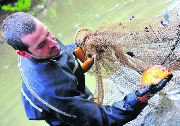 This Is Wiltshire: Fish being cleared out of the Wilts and Berks Canal