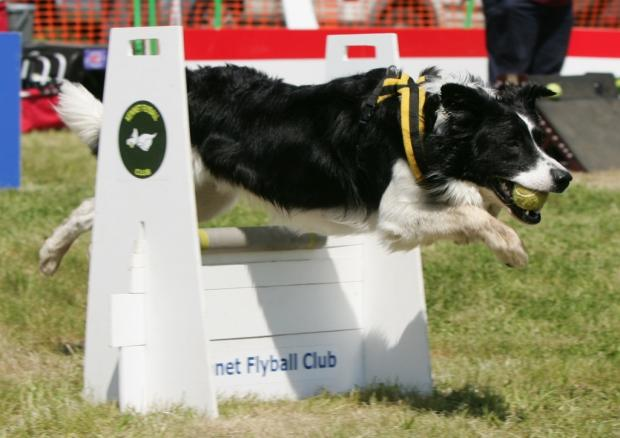 This Is Wiltshire: Flynn in action for Cotswold Flyball Club