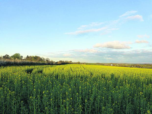 This Is Wiltshire: The main picture shows a field of oilseed rape on Manor Farm