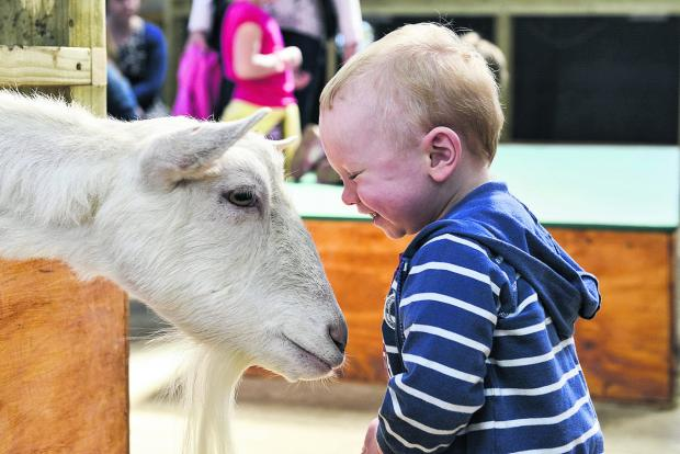 This Is Wiltshire: Jamie Jones gets up close and personal with a goat at Roves Farm