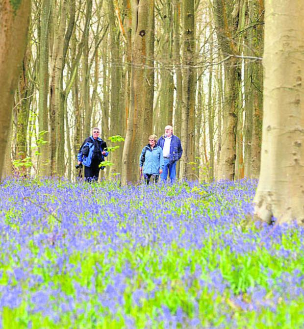 This Is Wiltshire: A good showing of bluebells in West Wood, Lockeridge, in 2012