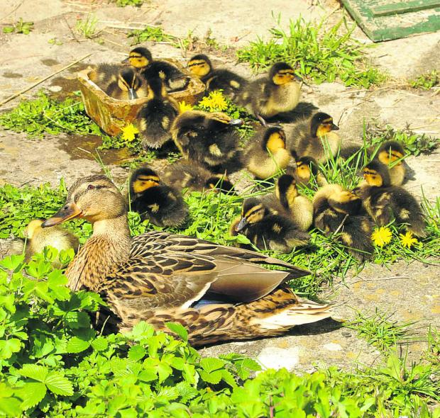 This Is Wiltshire: Sadness as brood of ducklings go missing from Chippenham