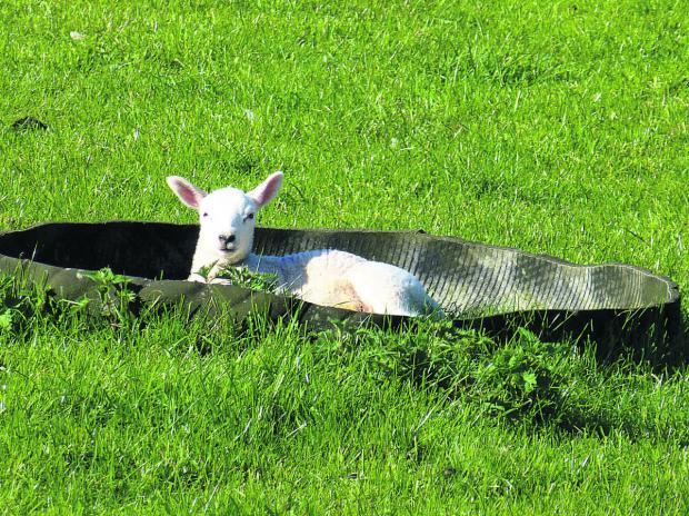 This Is Wiltshire: A lamb takes a leisurely rest in a feed bowl in a paddock at Stowell Farm. Lambing season is almost over on the farm