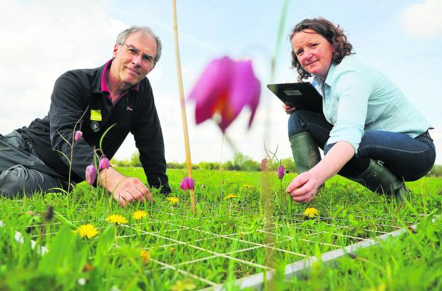 This Is Wiltshire: Emma Rothero, a floodplain meadows partnership outreach co-ordinator at North Meadow National Nature Reserve Cricklade, with John Barratt, counting the numbers of the rare snakeshead fritillary