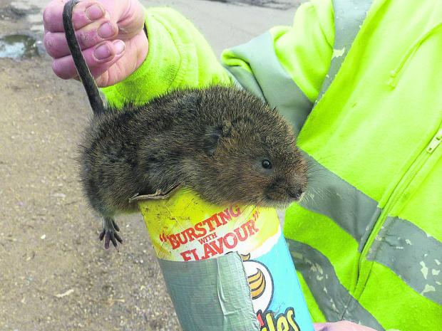 This Is Wiltshire: Around 60 water voles are being relocated from the Wiltshire and Berkshire canal to the River Meon in Hampshire