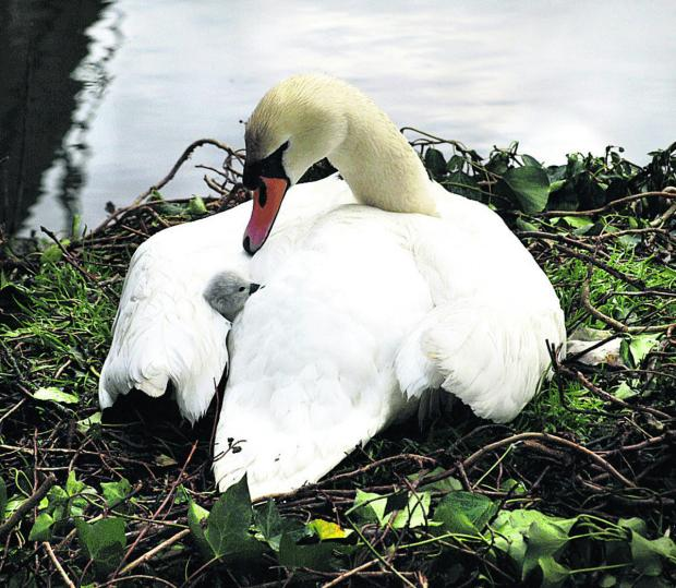 This Is Wiltshire: The first cygnet seen late yesterday at Bradford on Avon. Picture by Richard Clarke of richardclarkephotos.com