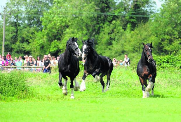 This Is Wiltshire: The Wadworth shire horses pictured being released for their summer holiday at Poulshot last year are, from left, Monty, Max and Prince
